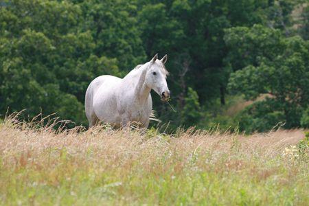 Beautiful gray mare in a field of tall grass Reklamní fotografie