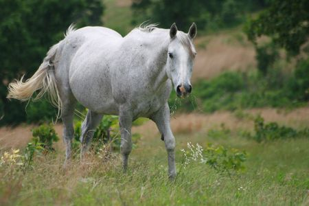 Beautiful gray mare walking in her pasture Imagens