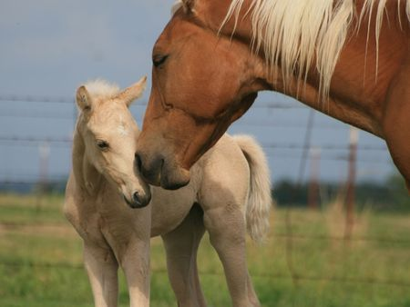 Affection between a mare and her foal Imagens