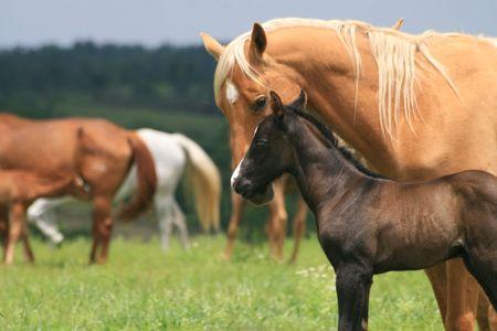 foal: Quarter horse herd