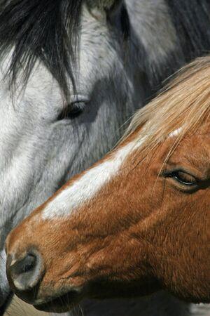 Pair of Quarter horses Banco de Imagens