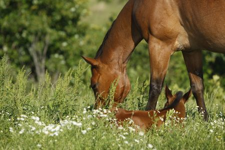 Mare grazing around her youngster