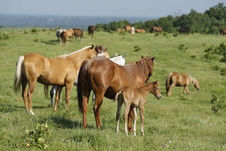 Herd of Quarter horses Reklamní fotografie