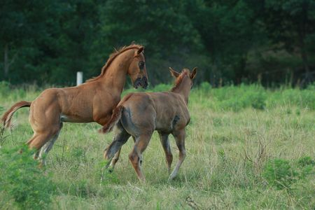 Young foals horsing around Stock Photo