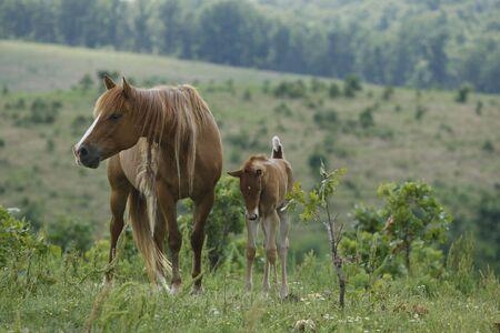 Broodmare and foal   Reklamní fotografie