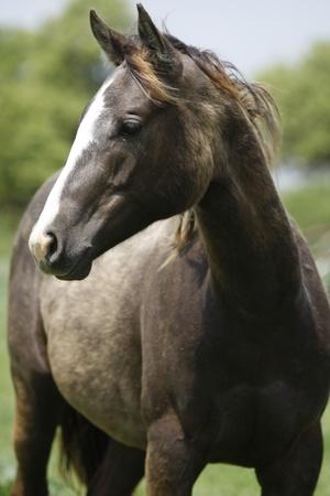 Young Quarter horses