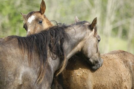 Two horses grooming each other