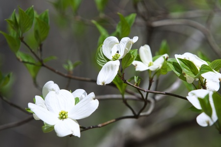 Lovely springtime Dogwood tree blooms