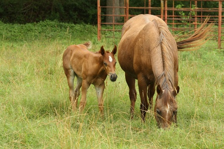 Broodmare and foal grazing in the pastures photo