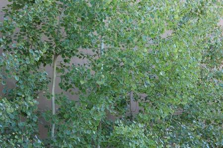 Quaking Aspen trees