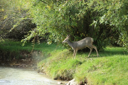 black tail deer: Mule deer about to cross a creek Stock Photo