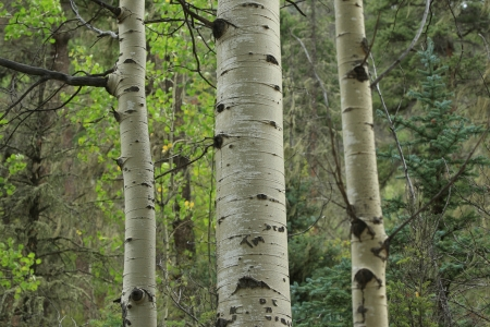 quaking aspen: White Quaking Aspen bark