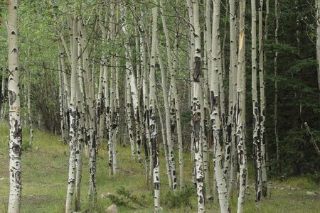 quaking aspen: A colony of Quaking Aspen trees