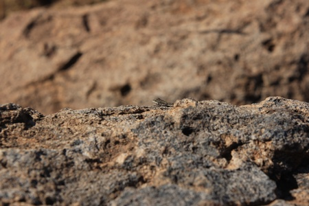 desert lizard: A desert lizard sunning on a rocky surface Stock Photo