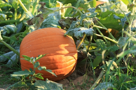 pumpkin patch: Pumpkin