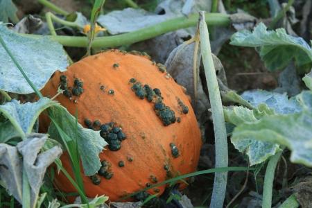 cucurbita: Blue-green warts on an orange pumpkin