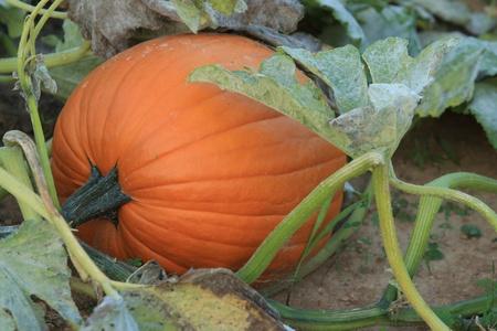 calabaza: Listos para la cosecha de calabaza