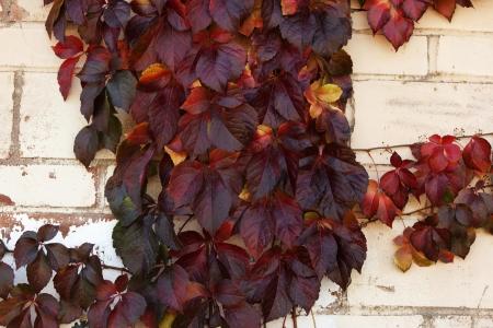 clinging: Late autumn clinging vine