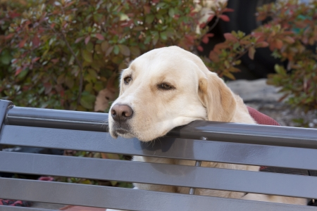 longing: Canine longing for his master Stock Photo
