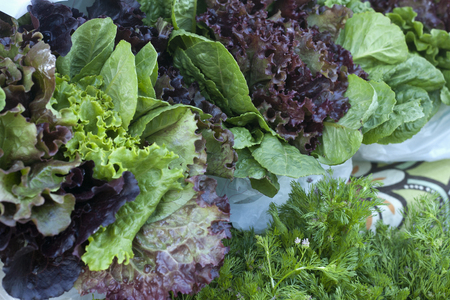 Variety of lettuces