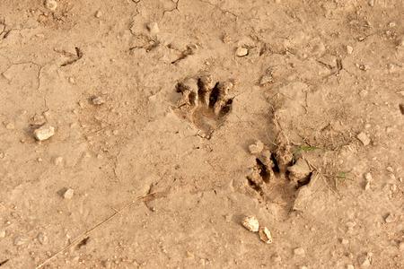 coons: Raccoon tracks in dried mud