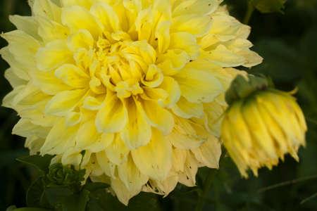 tatter: Dahlia amarillo andrajos Foto de archivo