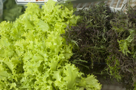 feathery: Bright green lettuce with a feathery leafed lettuce