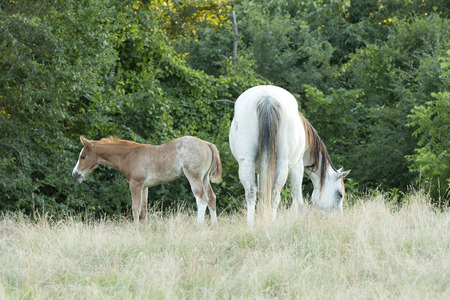 Gray nursing mare with her foal Stock Photo