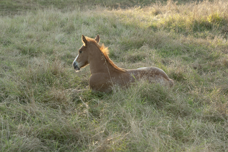 A young springtime foal resting Stock Photo
