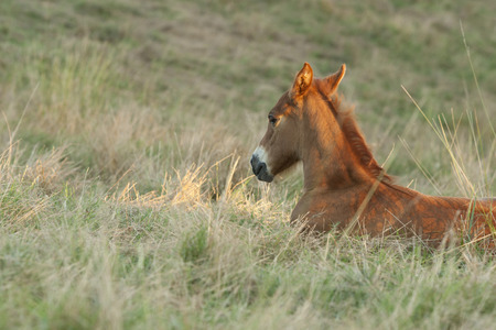 Reddish young foal