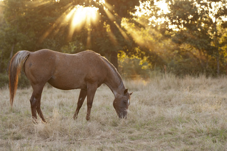 Grazing mare late in the day Stock Photo