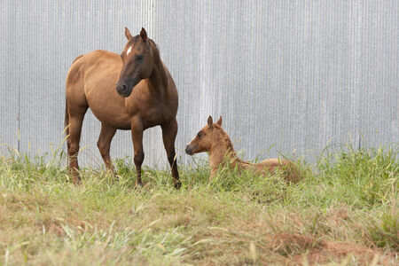 capable: A strong, capable mare looking out for her foal