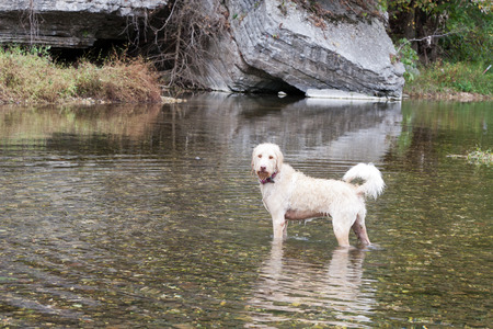 poised: Poised canine in creek waters