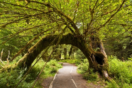 Mos bedekte bomen in hoh regenwoud, olympisch nationaal park, vreedzaam noordwesten Redactioneel