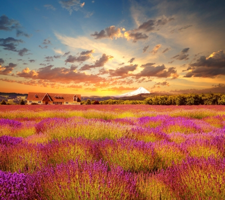 Beautiful lavender field at sunset time Stock Photo - 20371052