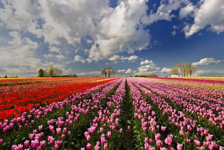 Tulip Garden Oregon