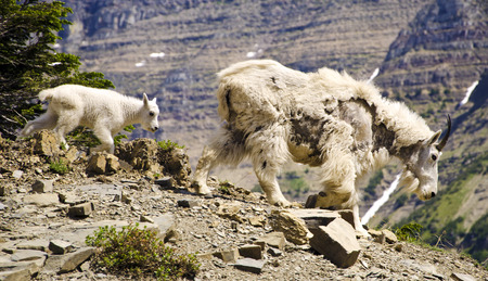mount evans: Mountain Goat and the Kid at Glacier National Park