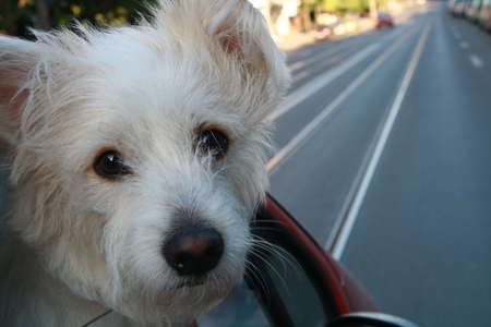 a young baby: A young baby puppy traveling by car