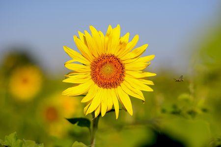 Amazing flying bee, needed honey fron sunflower photo