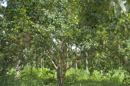 Drzewo pomelo Zdjęcie Seryjne - 5375578