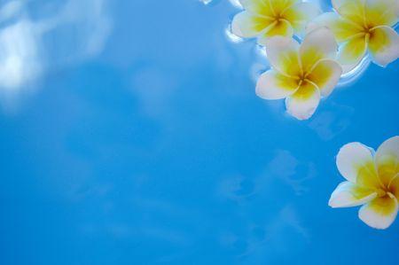 Flowers of plumeria (frangipani) in water  photo