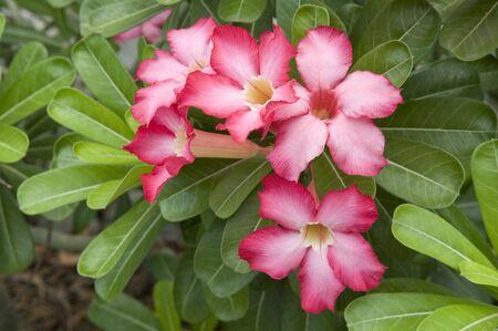 Tropical flower Pink Adenium. Desert rose.  免版税图像