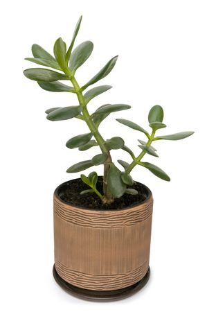 jade plant: Dollar plant known also as jade plant or money tree. Isolated on white