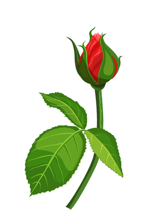 Red rose flower vector illustration isolated on white background.