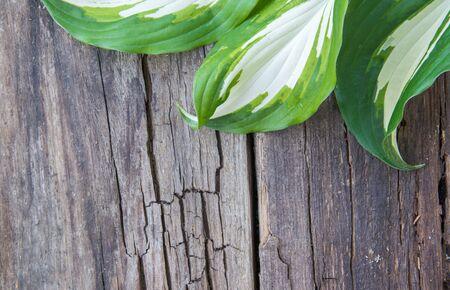 Leaf of the Hosta plant, flower, natural wooden gray background 免版税图像