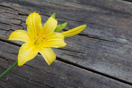Wishing Lily flower on old wooden background from boards 免版税图像