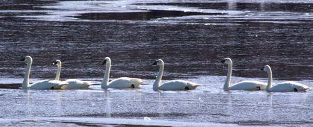 tundra swan: Cisnes en una fila  Foto de archivo
