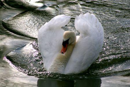 호수에 음소거 백조