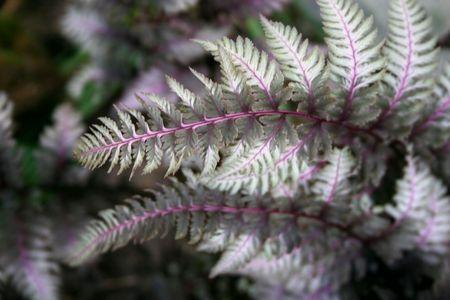 double frond, Japanese white striped fern Reklamní fotografie