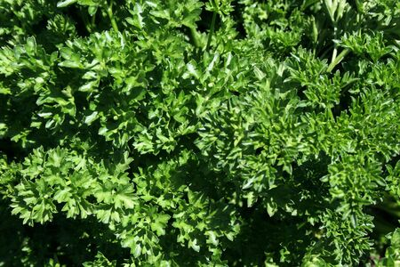 parsley texture background